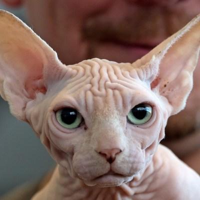 Estas son las razas de gatitos más caras del mundo