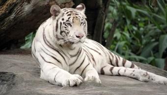 imagen-ilustrativa-bengala-tigre-ataca-a-menor-de-edad-era-propiedad-de-su-padre
