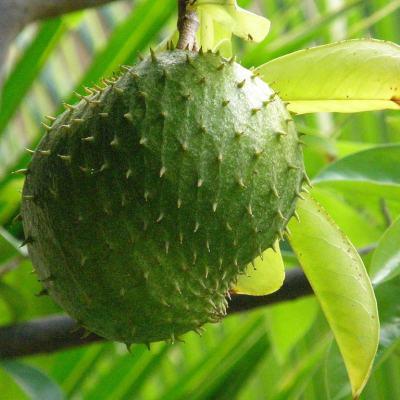 La guanábana puede ayudar a combatir el cáncer: IPN