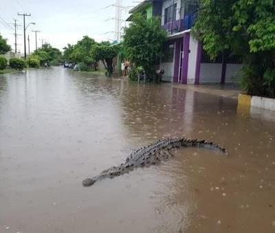 Capturan dos cocodrilos en calles inundadas de Lázaro Cárdenas, Michoacán