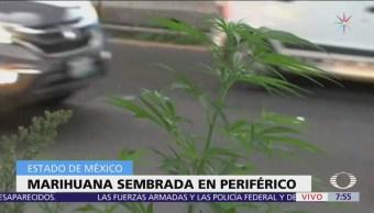 Descubren marihuana en jardinera de Periférico, Lomas Verdes