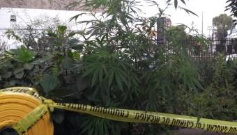 Marihuana crece en camellón de Periférico Norte, Naucalpan