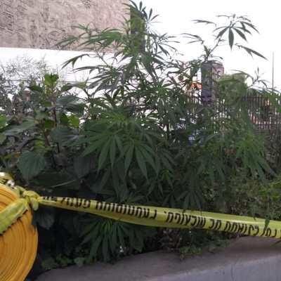 Encuentran plantas de marihuana en camellón de Periférico Norte, Naucalpan