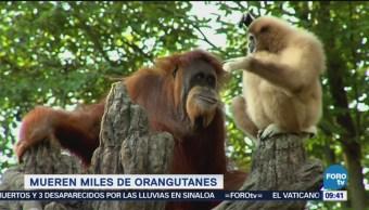 Cultivo de palma mata miles de orangutanes