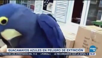 Extra, Extra: Guacamayos azules en peligro de extinción