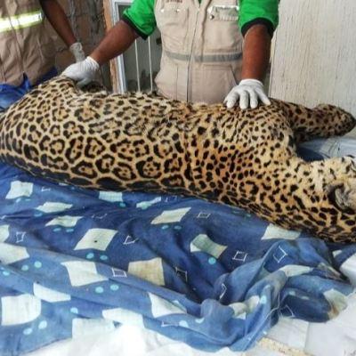 Profepa localiza cuerpo de jaguar cazado en Jesús Carranza, Veracruz