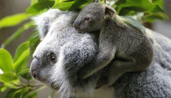 Koalas podrían extinguirse en 2050, en Australia