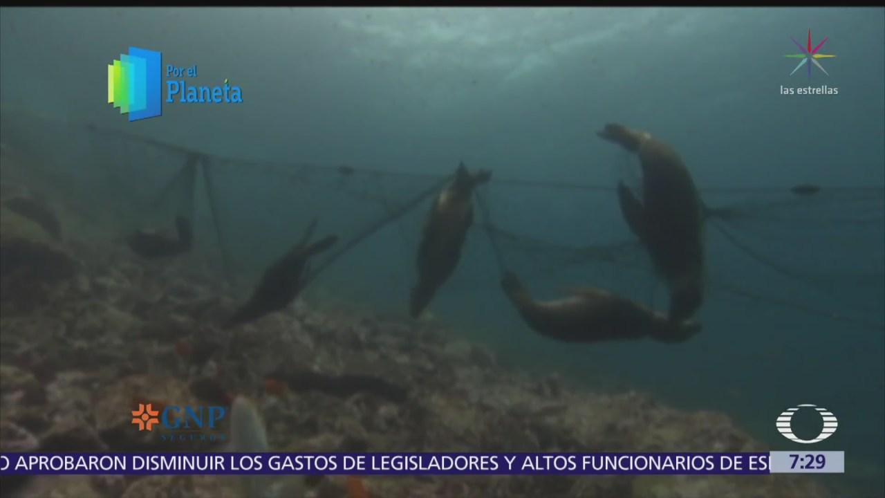 Lobos marinos, especie amenazada por grandes consorcios pesqueros