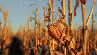 Maíz Cultivo México Nitrógeno Agricultura Investigador