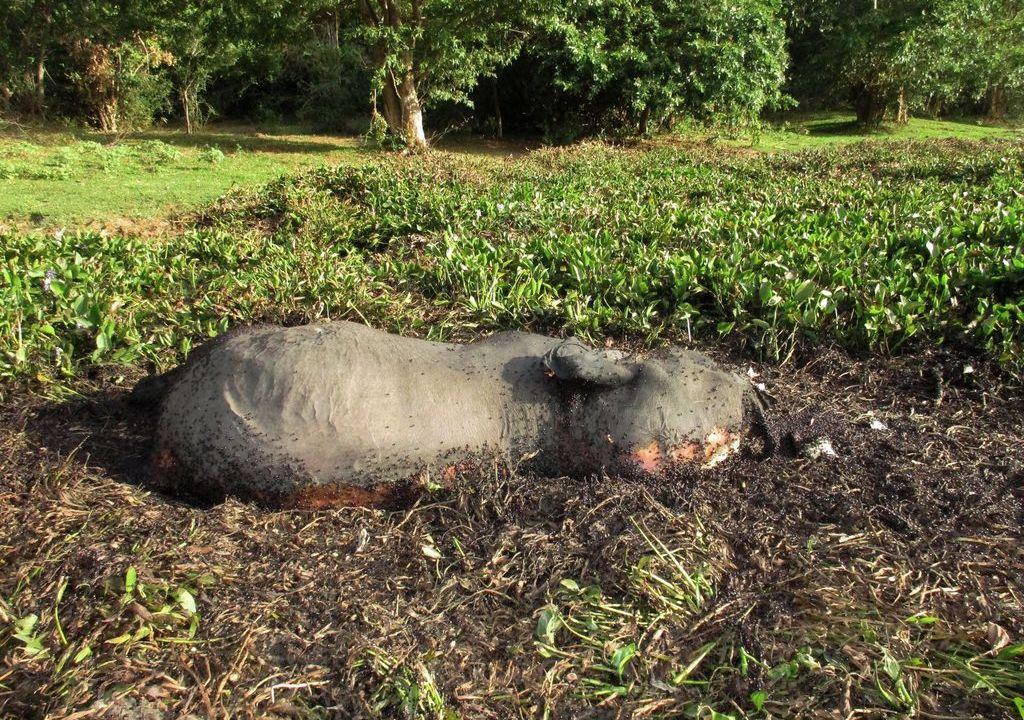 Masacre de elefantes: hallan cien cadáveres en Botsuana