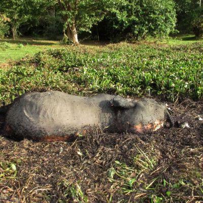 Hallan cerca de cien elefantes masacrados por cazadores furtivos en Botsuana