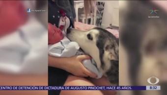 Perro husky se emociona cuando conoce al nuevo bebé