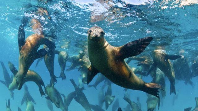 Redes de pesca amenazan a focas en Mar de Cortés.