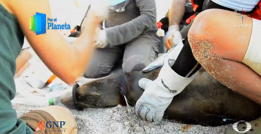 Redes de pesca amenazan a focas en Mar de Cortés
