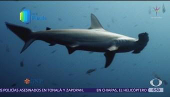Tiburones del Mar de Cortés enfrentan a hombres como depredadores