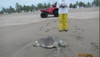 Tortugas muertas Sinaloa; determinan causas Profepa