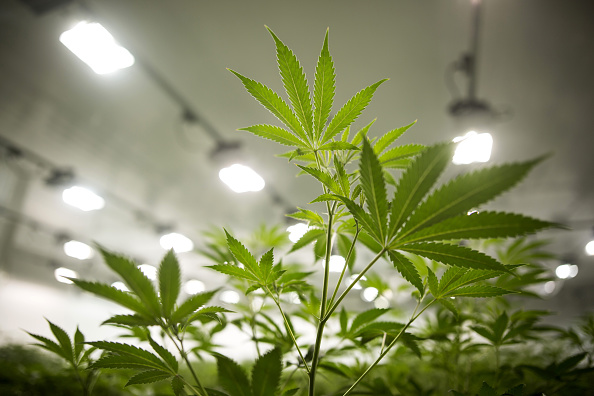 canada legalizara la marihuana este miercoles