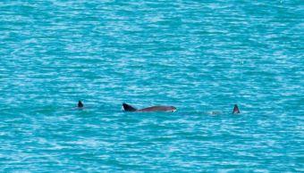 Vaquita marina todavía tiene esperanza; avistan cría