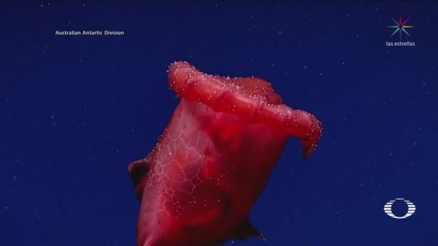 Científicos Australianos Captan Ejemplar Pepino Mar Antártida