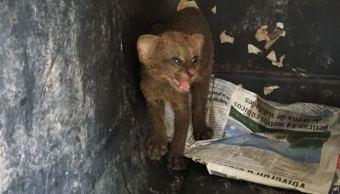 Especies en peligro extensión son capturadas en zonas urbanas de Colima
