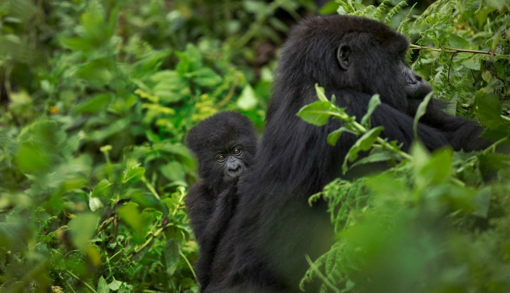 Gorilas-Montana-Cuidado-Paternal-Crias-Reproduccion