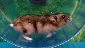 hamsters-clave-explicar-subimos-peso-ejercicio-rodedores