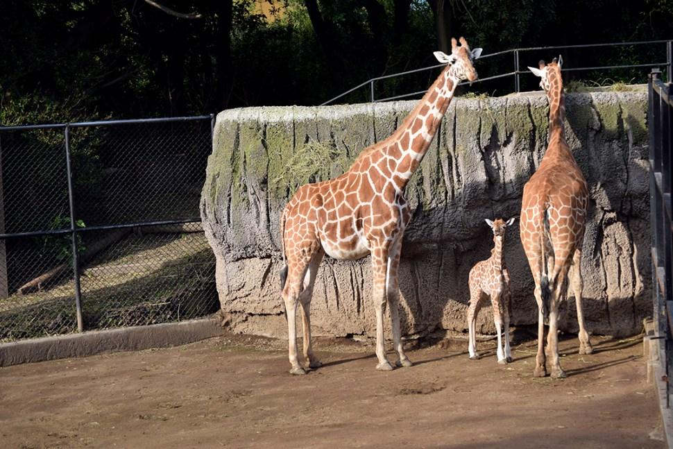 Nace Jirafa En El Zoológico De Chapultepec, Zoológico De Chapultepec, Jirafa, Jirafas, Jirafa Bebé, Chapultepec