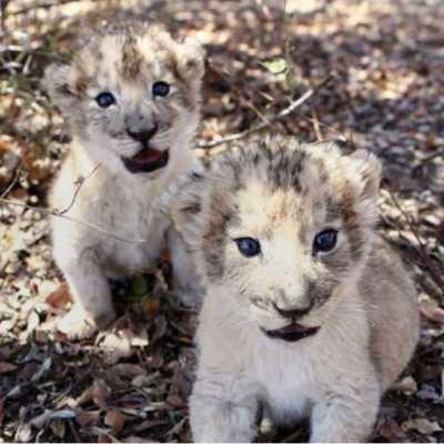 Nacen los primeros leones concebidos por inseminación artificial