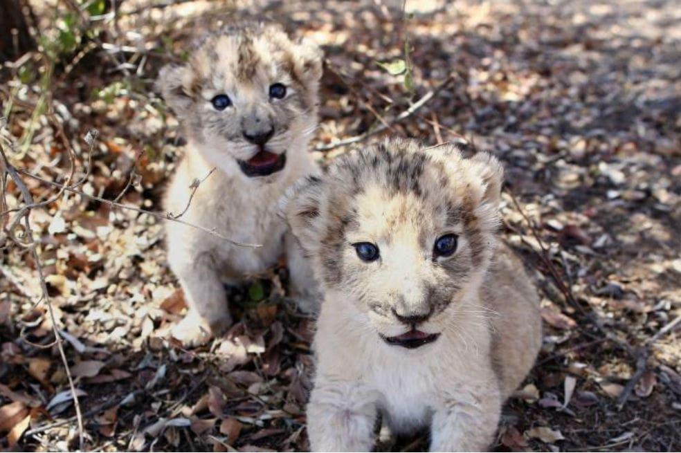 nacen-primeros-leones-concebidos-inseminacion-artificial-sudafrica