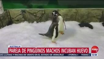 Pareja de pingüinos machos incuban huevo