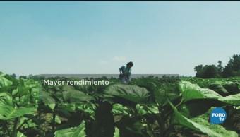Producción Girasol Estado De México