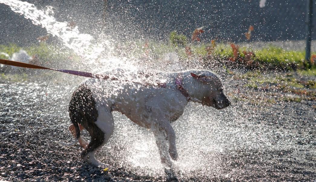 Como-Quitar-Pulgas-Perros-Mascotas-parasitos-garrapatas