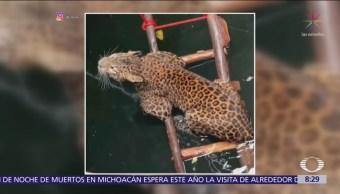 Rescatan a leopardo tras caer en un pozo en la India
