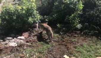 Reintegran a su hábitat a coyotes mexicanos y a víbora