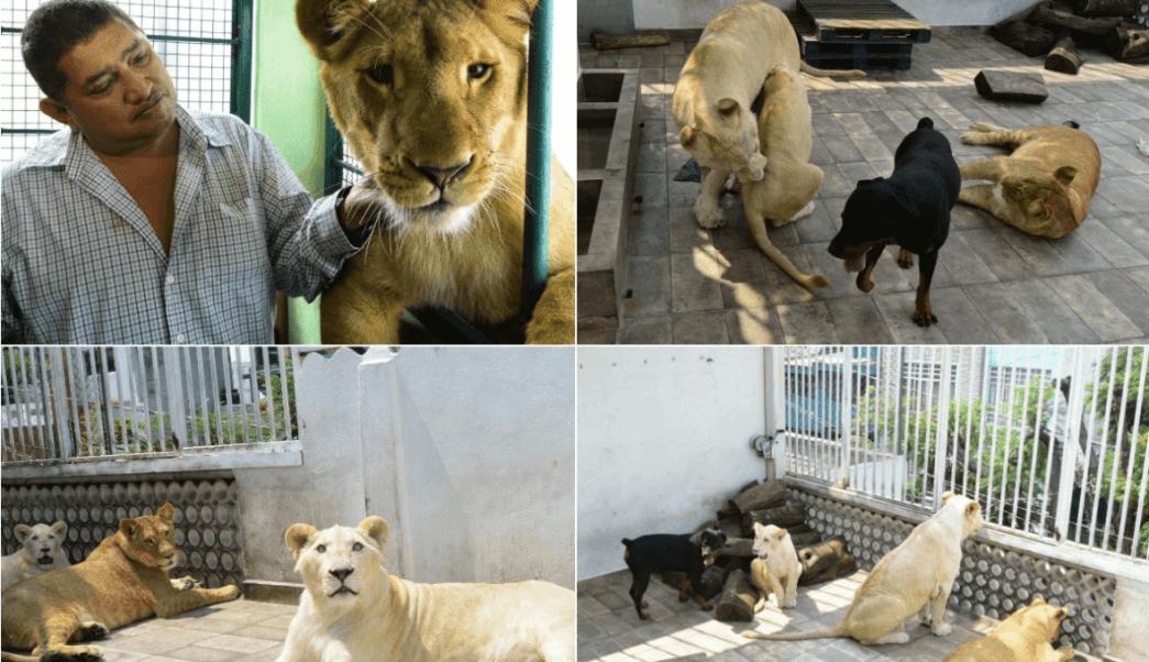 Profepa fracasa en segundo intento de asegurar leones