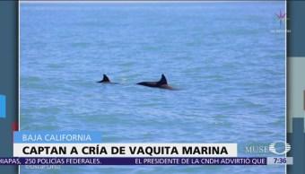 Vaquita marina y cría son avistadas en Alto Golfo de California