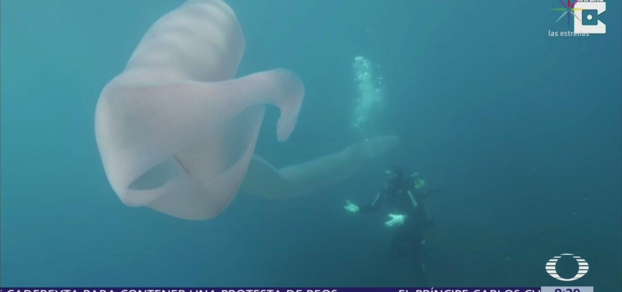 Buzos encuentran extraña criatura de mar de 8 metros de largo