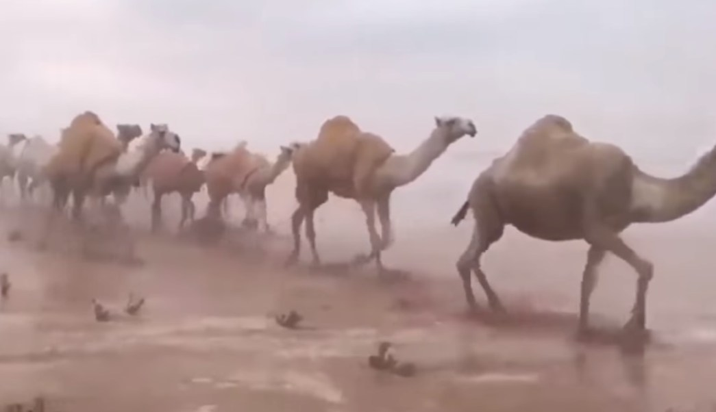 Arabia Saudita: camellos en desierto inundado son grabados
