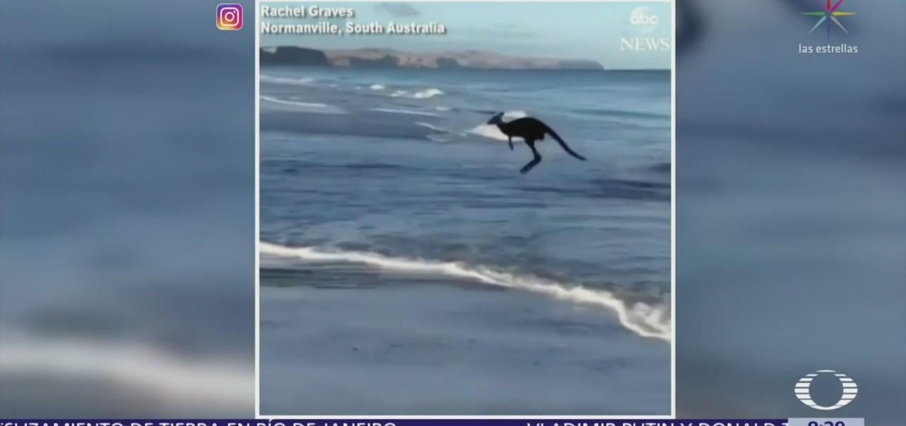 Canguro nadando en la playa de Normanville, Australia