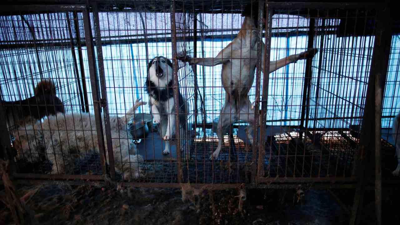 carne-perro-corea-sur-matadero