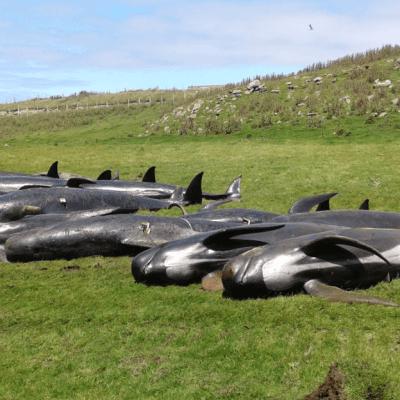 Mueren otras 51 ballenas piloto al quedar varadas en Nueva Zelanda