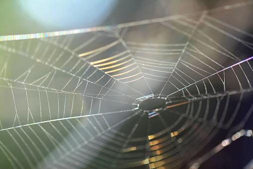 Araña dispara su tela 25 metros para atrapar a sus presas