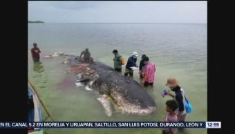 Hallan mil desechos plásticos en estómago de ballena muerta en Indonesia