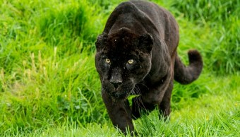 Captan un jaguar negro en área protegida del Amazonas