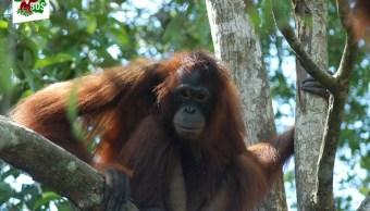 La terrible historia de Pony, orangután que fue prostituida
