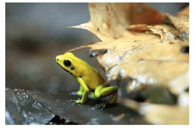 Rana venenosa en alemania. (Getty Images, archivo)