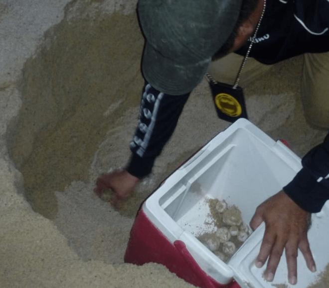 En Acapulco, tortuga laúd pone 103 huevos, bajo resguardo