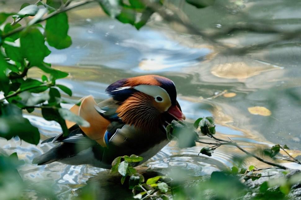 Sorprende pato mandarín en Central Park
