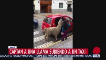 Suben una llama a un taxi en Cuzco, Perú