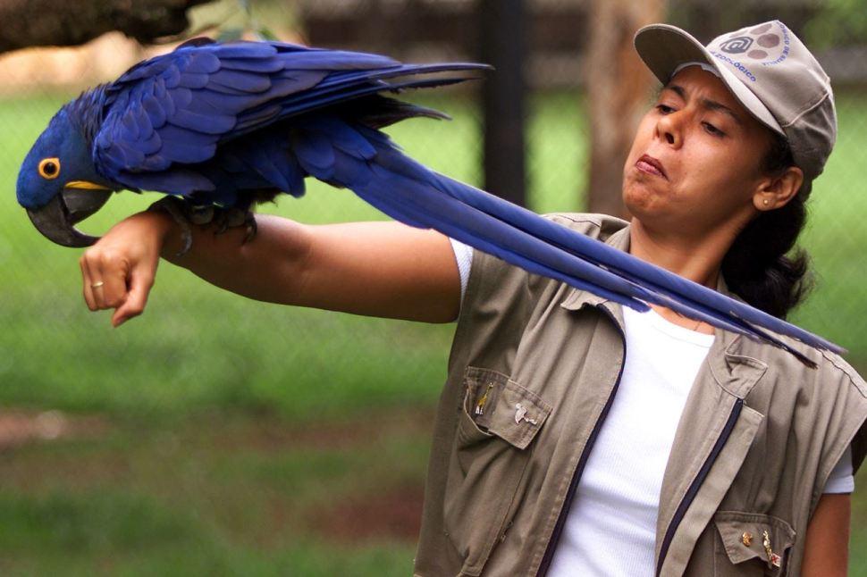 Una bióloga brasileña sostiene una guacamaya azul que fue rescatada de contrabandistas en Rio de Janeiro (AP Images)